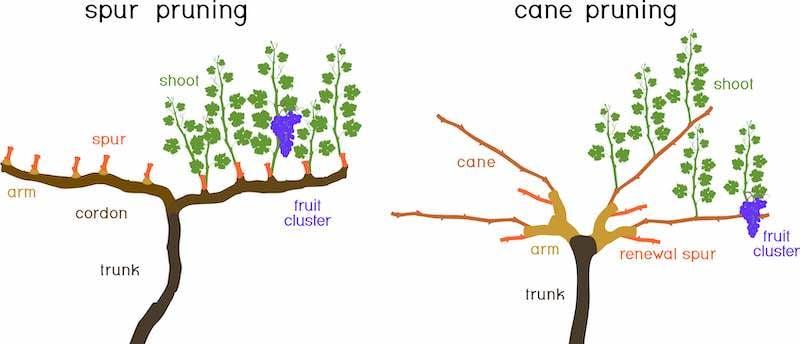 Spur pruning vs cane pruning