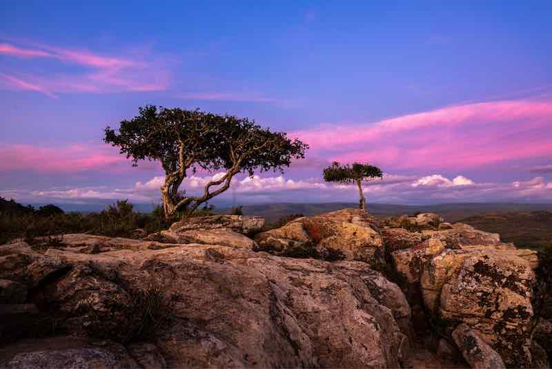 Wild Plum Tree At Sunset