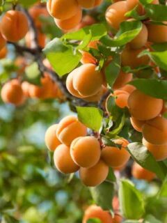 Patterson Apricot Tree
