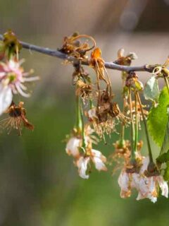 Apricot Tree Diseases