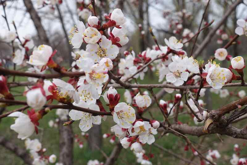 Apricot Tree in full bloom