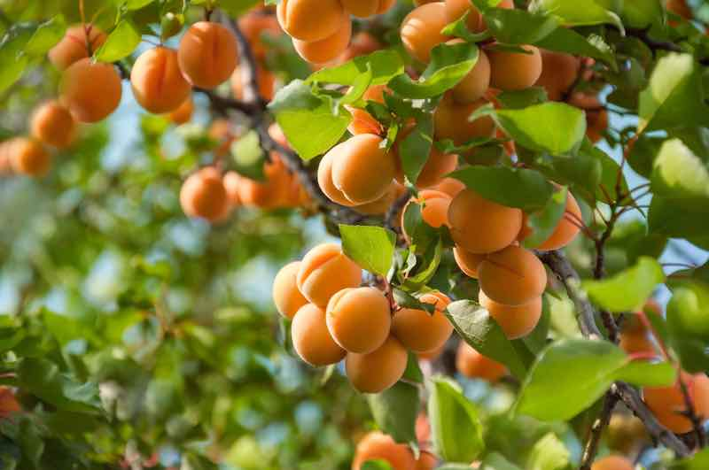 Closeup of apricot tree branches that are heavy with ripe fruit.