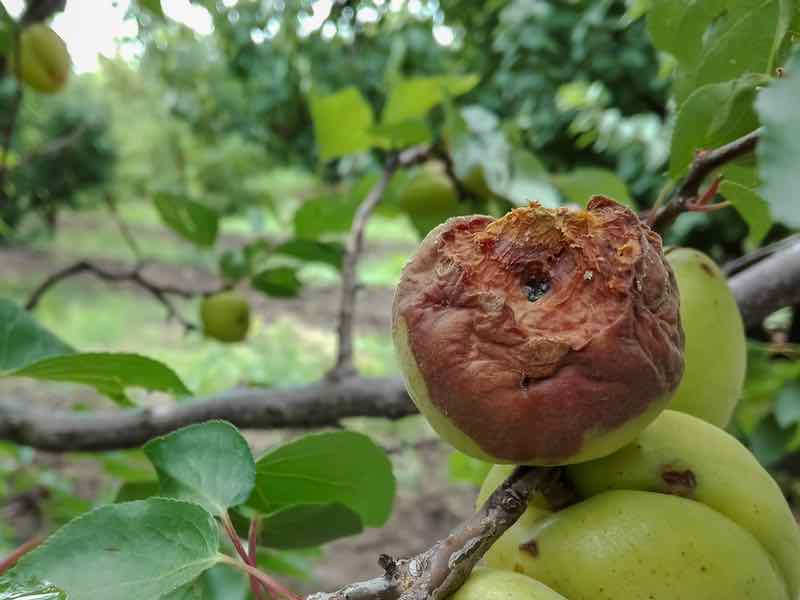 Apricot with Brown Rot