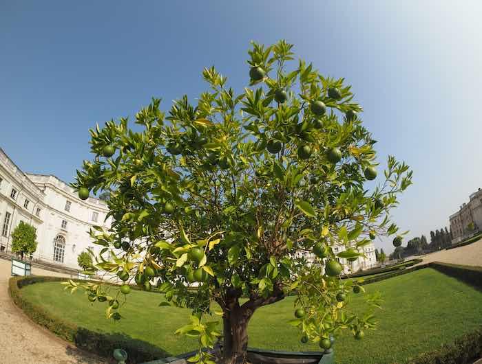 Bearss Lemon Tree