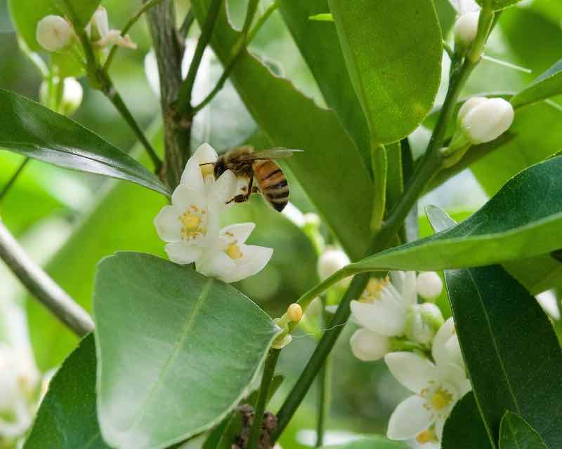 Bee Pollinating A Lemon Tree