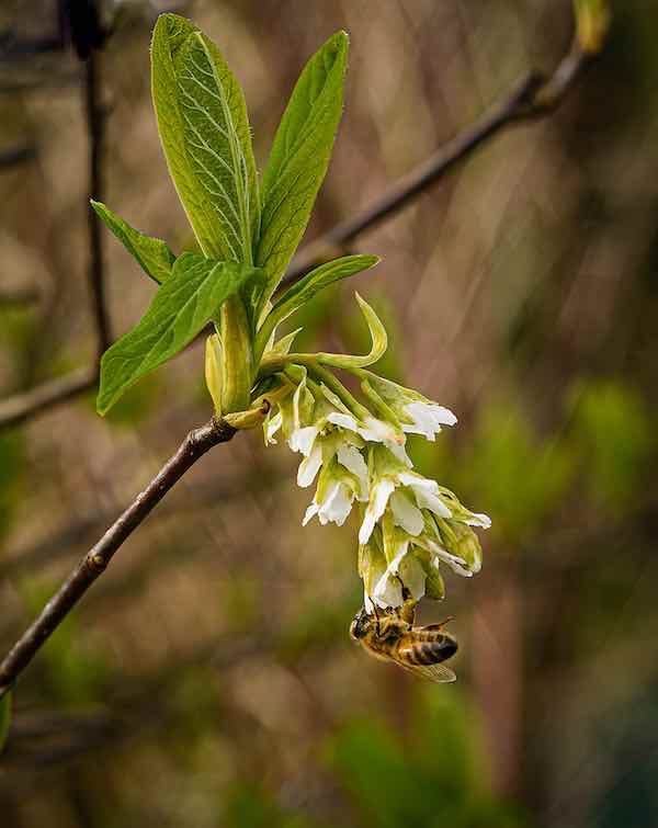 Bee pollenating an Indian Plum Tree