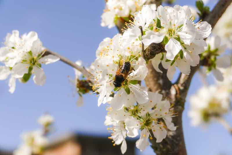 Bee pollinating a white blossom.