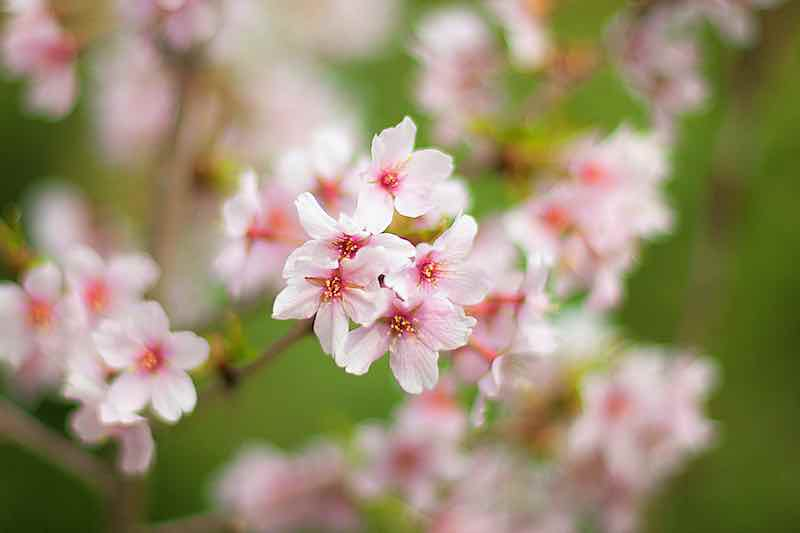 Blenheim Apricot Tree Blossoms