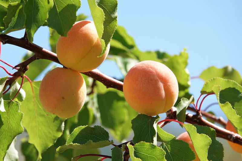 Blenheim Apricot Tree