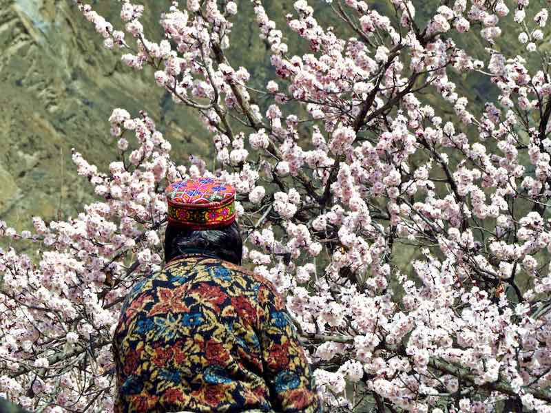 Blooming Hunza Apricot Tree