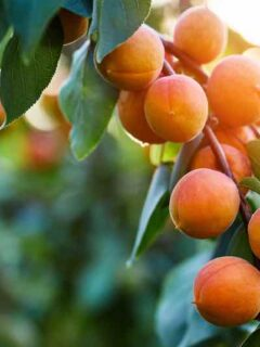 Brittany Gold Apricot Tree
