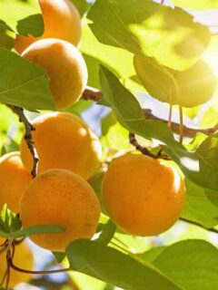 Canadian White Blenheim Apricot Tree