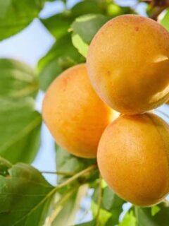 Chinese Apricot Tree