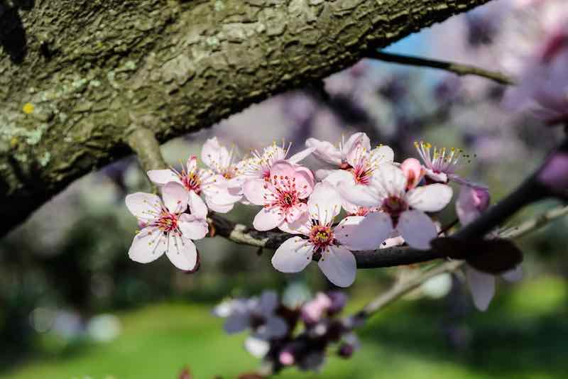 Chinese Apricot Tree Blossoms