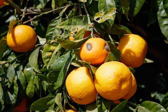 Citrus Stubborn Disease