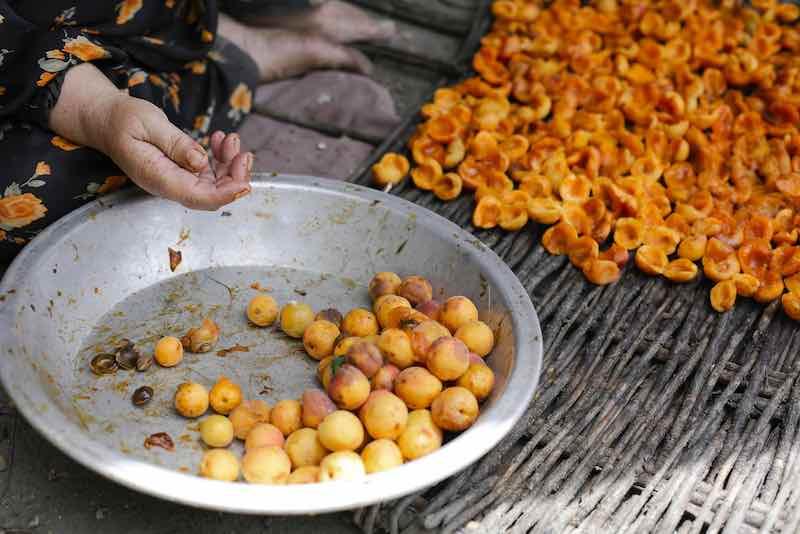 Drying Hunza Apricots