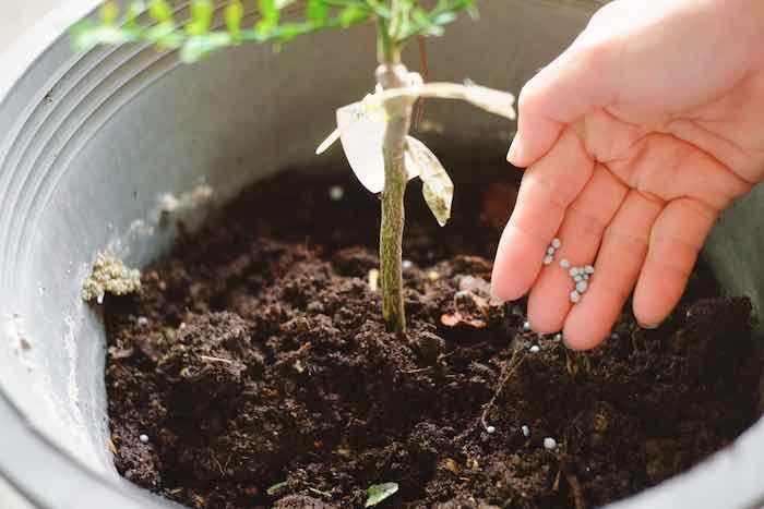 Fertilizing a Citrus Tree