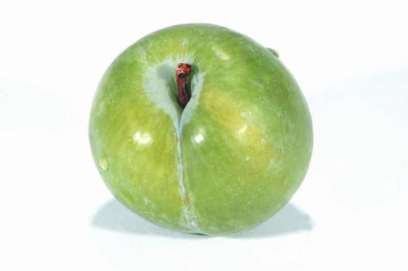 Green Kelsey Plum -- one of the many types of plum tree varieties.
