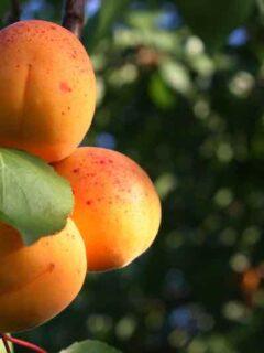 Harcot Apricot Tree
