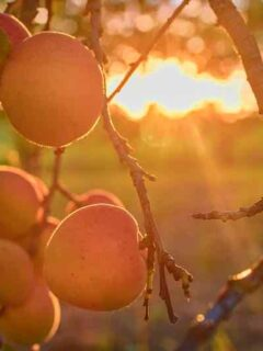 Harglow Apricot Tree in Sunset