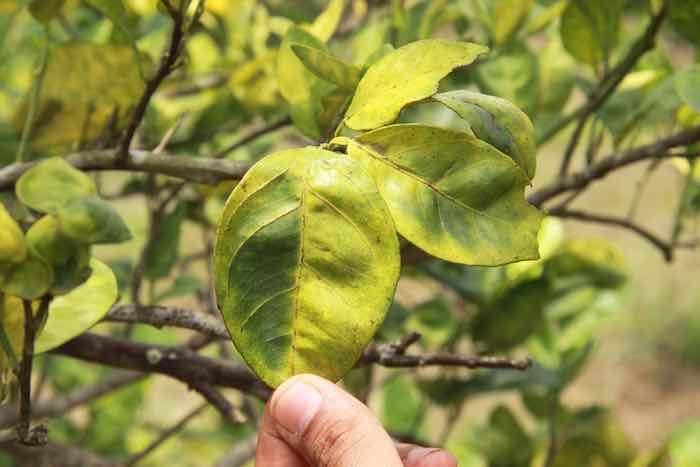 Huanglongbing Lemon Tree Disease