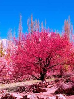 Hunza Apricot Tree Blossoms - Hunza Valley