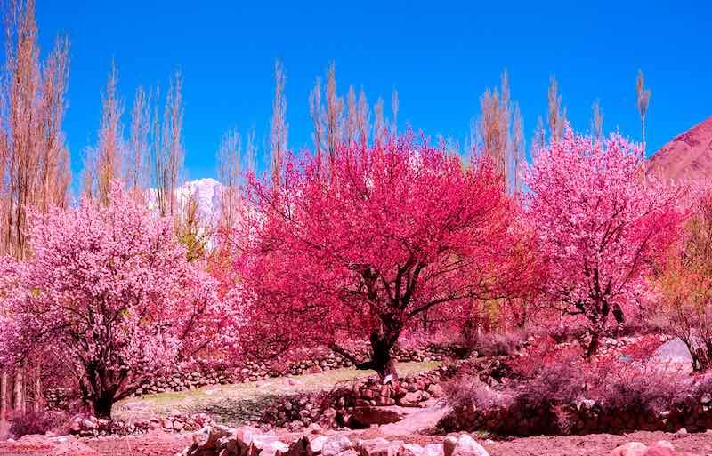 Hunza Apricot Tree Blossoms - Hunza Valley