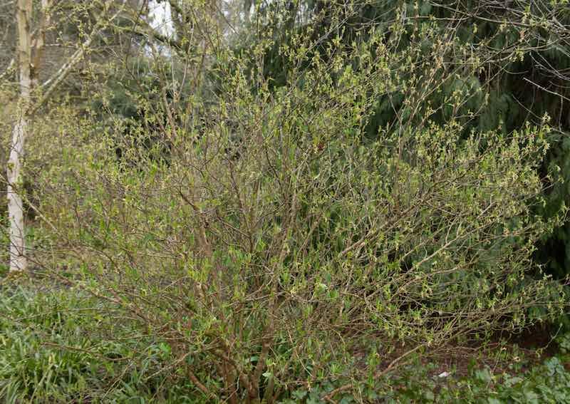 Indian Plum Tree