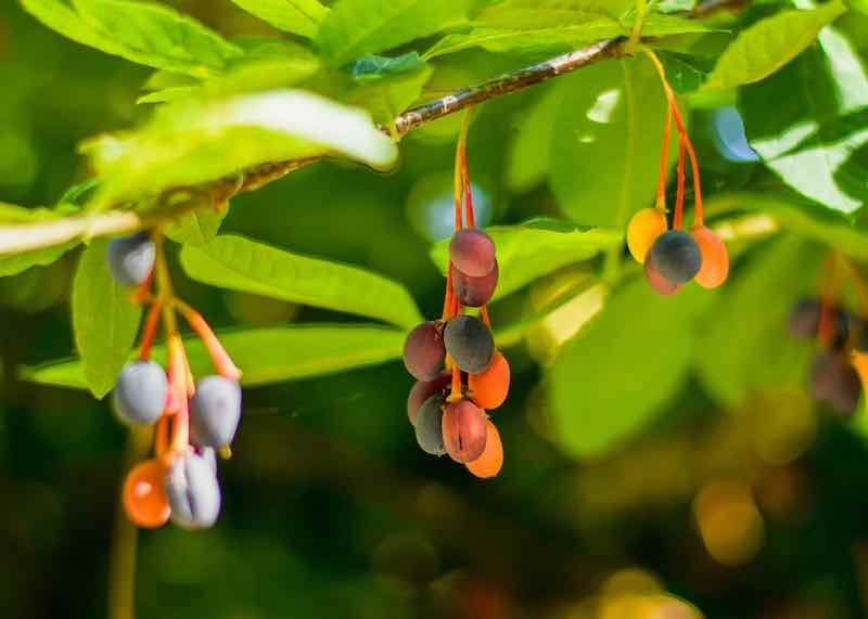 Indian Plums on Tree