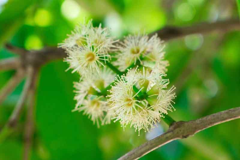 Java Plum Flower