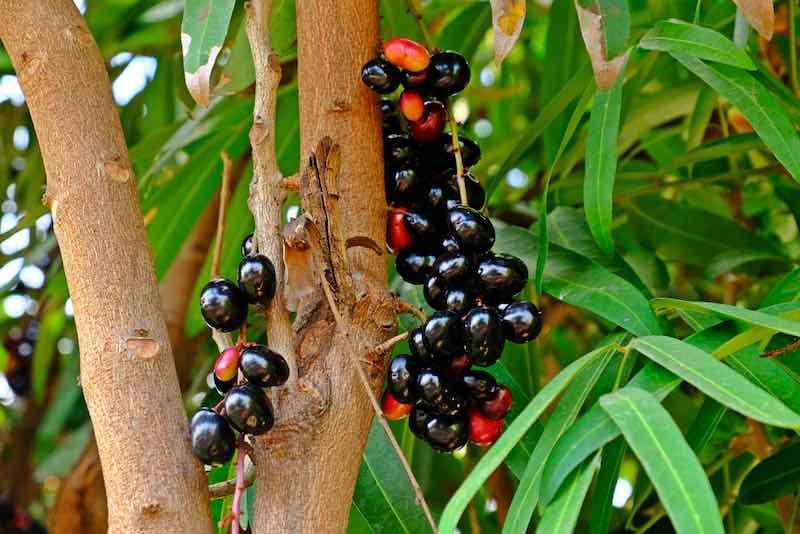 Blackish purple Java Plums on a tree.