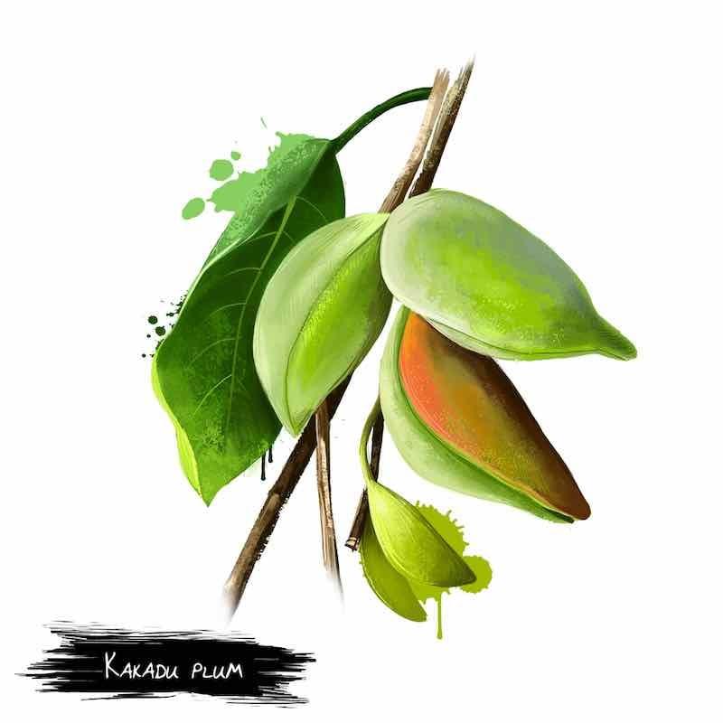 Kakadu Plum Tree