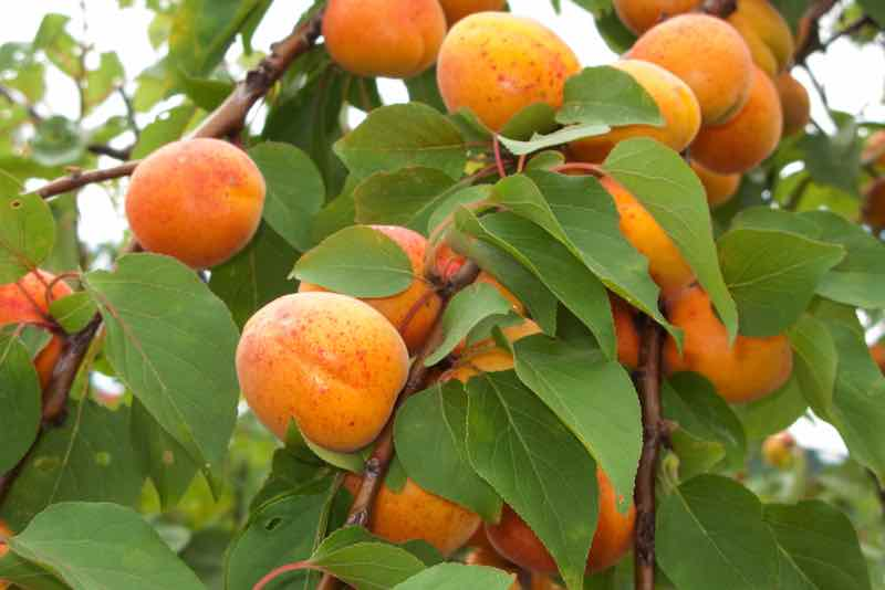 Closeup of an apricot tree branch with a clustering of ripe fruit.