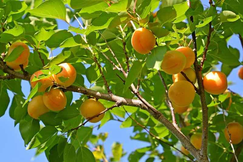 Katy Apricots on a Tree