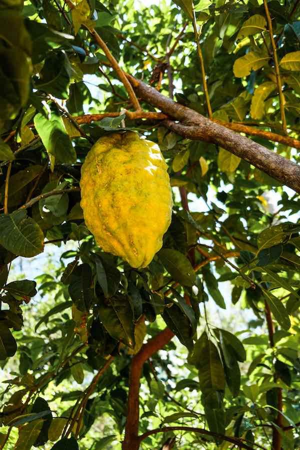 Large Ponderosa Lemon
