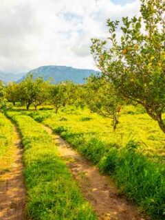 Lemon Trees in an Orchard