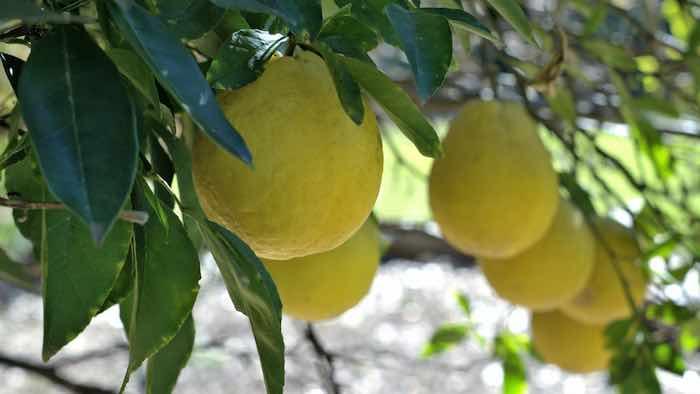 Lisbon Lemons on a Tree