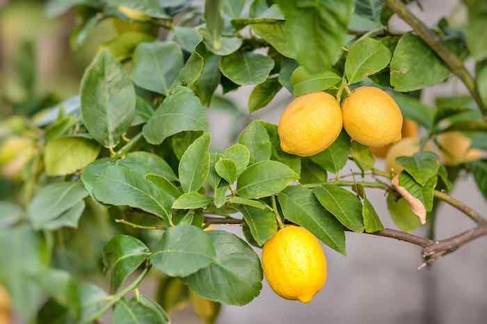 Meyer Lemons on a Tree