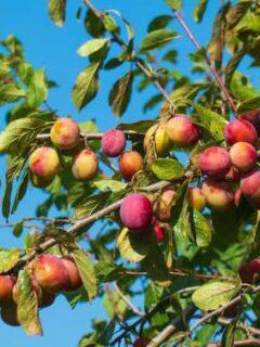 Organic Victoria Plum Tree