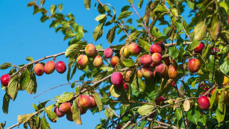 Organic Victoria Plum Tree with yellowish red plums hanging from it.