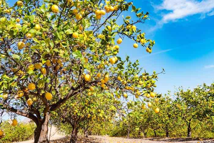 Outdoor Lemon Tree