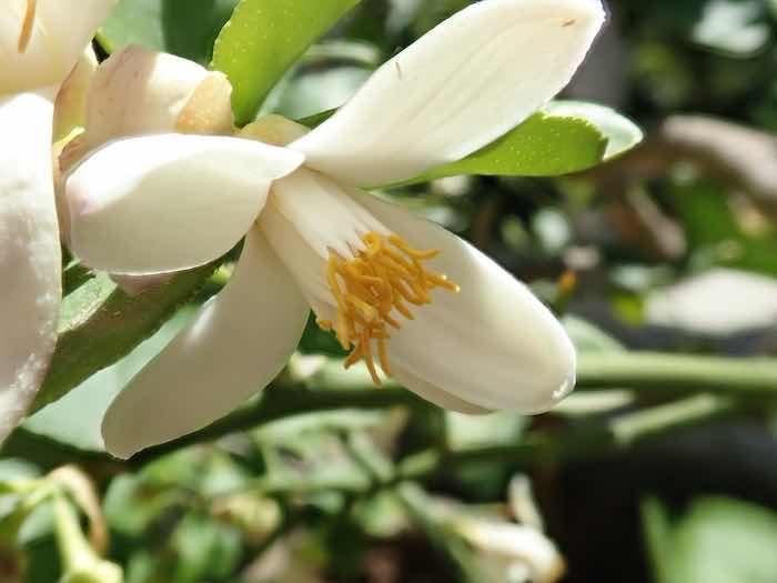 Ponderosa Lemon Flower