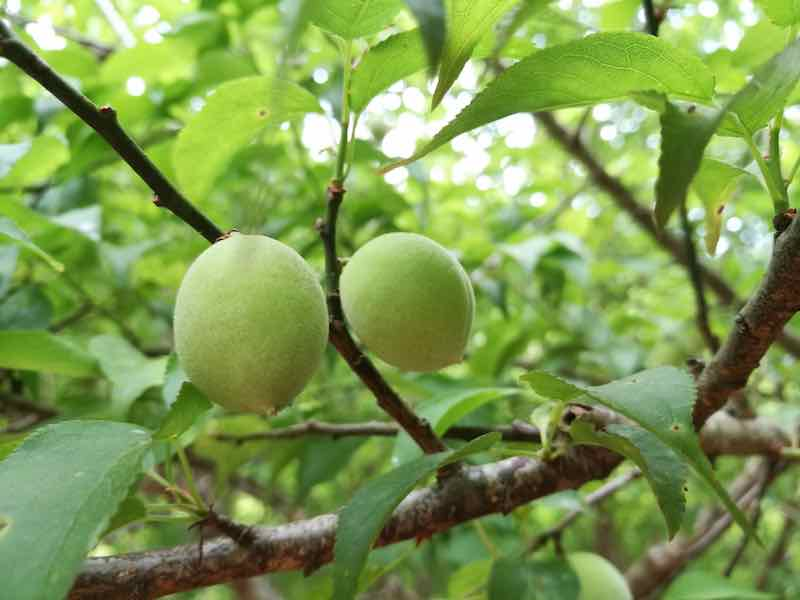 Sour Plums on a Tree