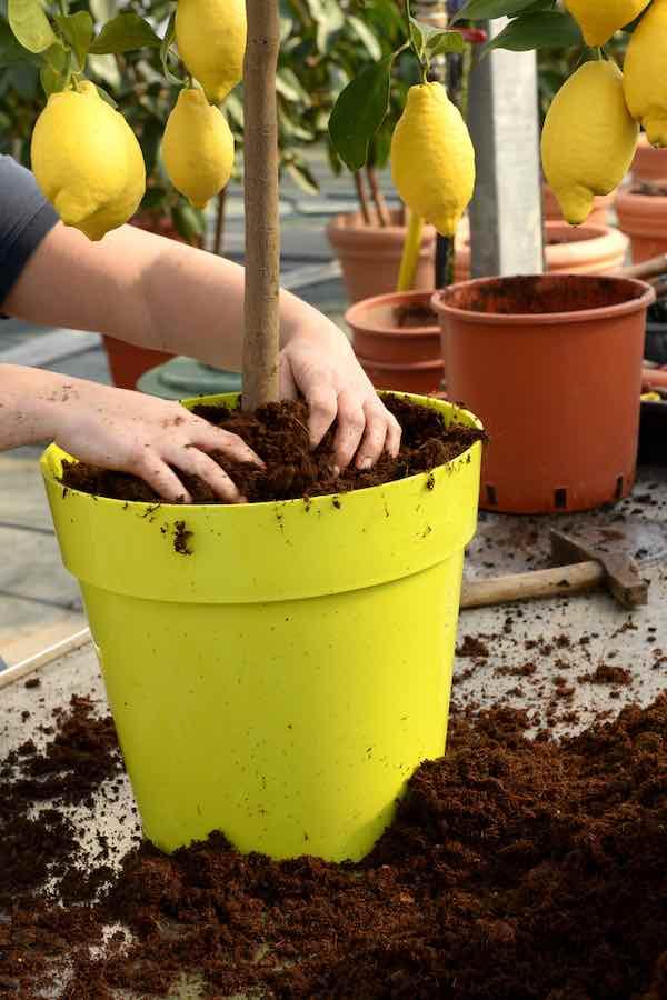 Transplanting a Lemon Tree