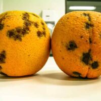 Oranges infested with Amarelinho or CVC, Citrus Variegated Chlorosis