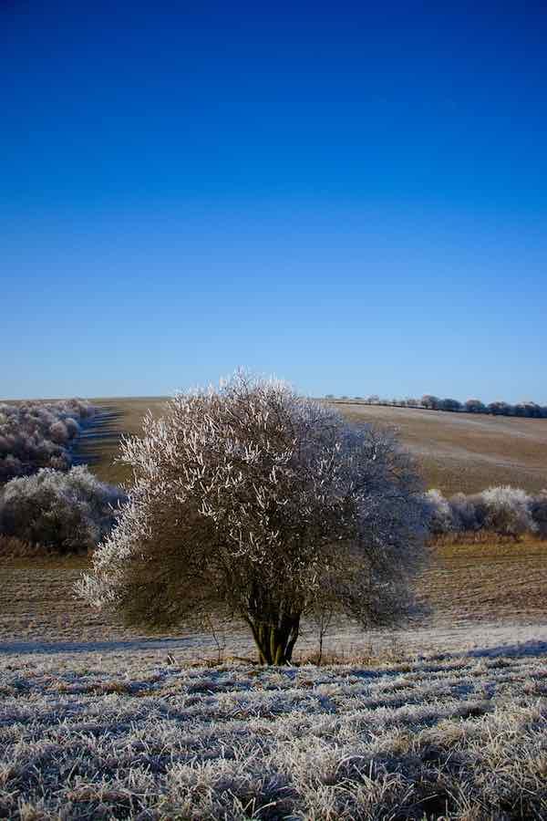 Wild Plum Tree in a Field