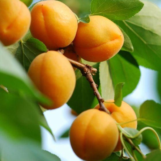 Closeup of ripe apricots on a tree branch.