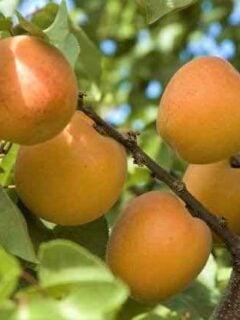 Tomcot Apricot Tree