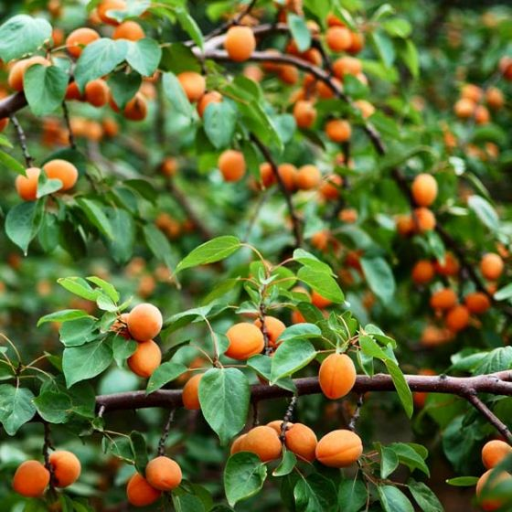 Closeup of apricot tree with yellow orange fruit on the branches.