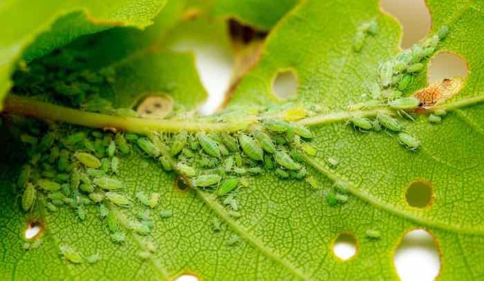 Lemon Tree Pests: Aphid close up on a green leaf.